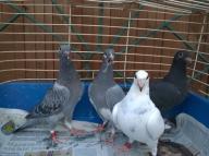 Gołębie pocztowe młode 4 szt.