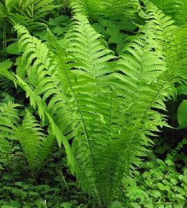 Paprocie Paproć Ogrodowa Zielona 1sztmega Duża 5907934027