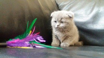 Koty Szkockie Kocięta Szkockie Zwisłouche 6351822899 Oficjalne