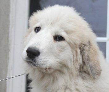 Draka Szczenie Pirenejski Pies Gorski Zkwp 6057734317 Oficjalne Archiwum Allegro