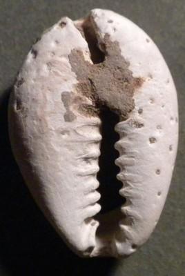 CHINY SHEL COIN nat.muszla, IV-III w.p.n.e