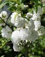 Wiśnia gruczołkowata 'Alba Plena'-Biały migdałek