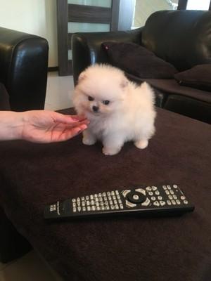 Szpic Miniaturowy Pomeranian Typ Boo Cyni Mini 6792312145 Oficjalne Archiwum Allegro