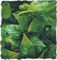 ZOOMED Roślina dekoracyjna Mexican Phyllo Large