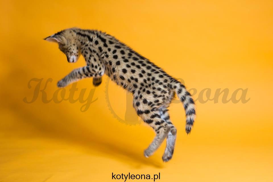 W Ultra Egzotyczny Serwal Afrykański Serval kotyleona.pl - 7011288115 QE01