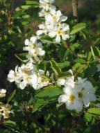 Obiela wielkokwiatowa w doniczce 2l 50-60 cm
