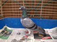 Gołębie pocztowe samiec SK