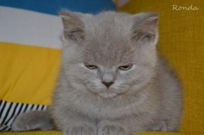 Kocięta Brytyjskie Niebieskie Liliowe Krótkowłose 6557604713