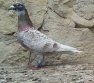 gołębie pocztowe /andaluz I inne