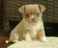Chihuahua krótkowłosa suczka z metryką ZKwP/FCI
