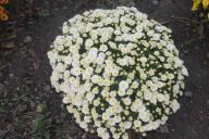 chryzantemy drobnokwiatowe 5 kolorów
