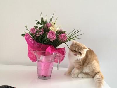 Kot Egzotyczny Pers Krótkowłosy Rudy 10 Miesięcy 6692923716
