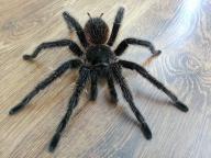 Samiec pająka Lasidora Parahybana