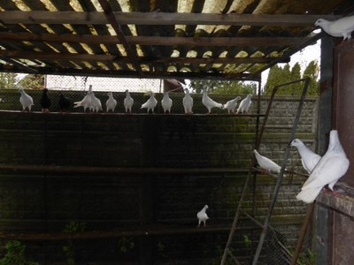 Gołębie jasne wyloty