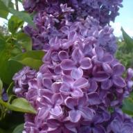 Syringa vulgaris 'Massena' - Lilak pospolity (Bez)