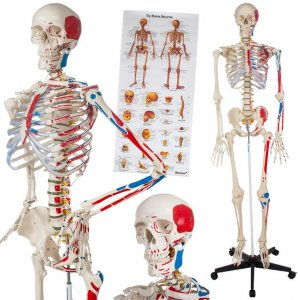 Szkielet Ludzki Model Czlowieka Plakat 400963 6063282549