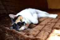 Rewelacyjna kotka po sterylizacji szuka domu