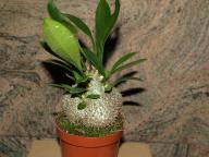 MYRMECODIA echinata Dom dla Mrówek epifit w don9cm