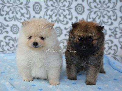 Dodatkowe Szpic Miniaturowy Pomeranian Suczka Piesek Piękne! - 6308834459 BX26