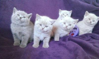 Brytyjskie Kocięta Lilioweniebieskie 5676337913 Oficjalne