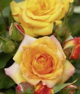 Rosa 'Redova Courtyard' - Róża pnąca ŻÓŁTA XL!
