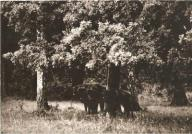 BIAŁOWIEŻA --- STADO ŻUBRÓW --- 1970