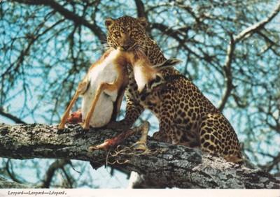 Kenia Lampart Plamisty Polowanie Kot 6877067877 Oficjalne