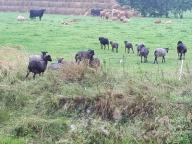 Wrzosówka owce. Sprzedam całe stado 60 szt. Łódź