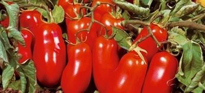 Pomidor San Marzano Karłowy Do Donic 6710044827 Oficjalne